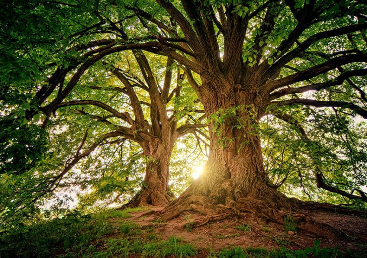 árbol más alto del mundo