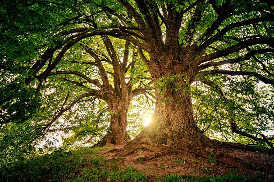 ¡Nuevo récord! Conoce al árbol más alto del mundo - Muy