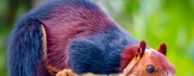 Ardilla multicolor