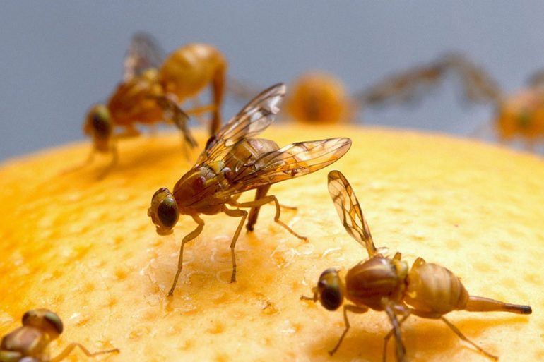 moscas de la fruta