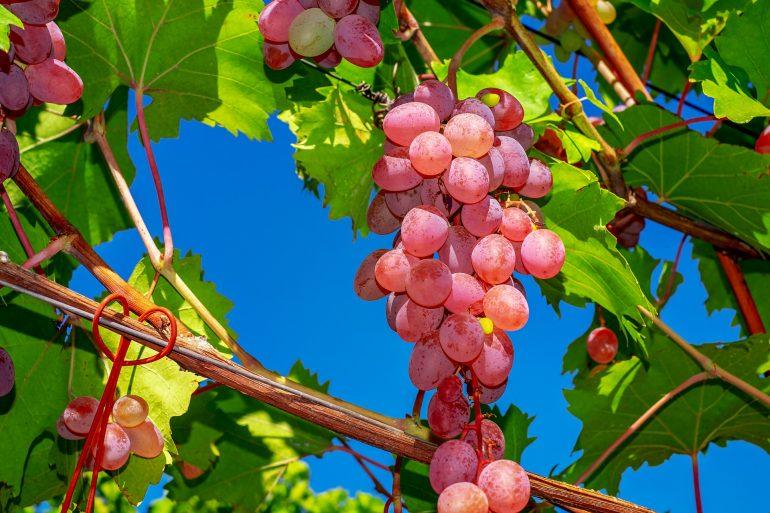 Compuesto de uvas