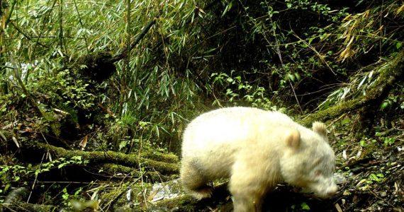 panda-albino