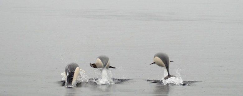 delfín liso