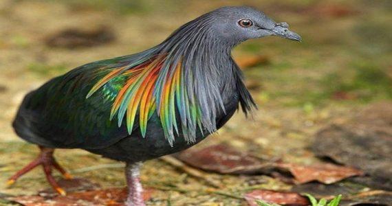 palomas de Nicobar