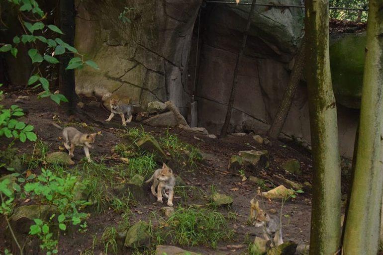 lobos mexicanos Chapultepec