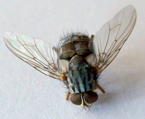 cuanto tiempo viven las moscas