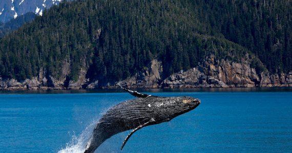 japón caza de ballenas