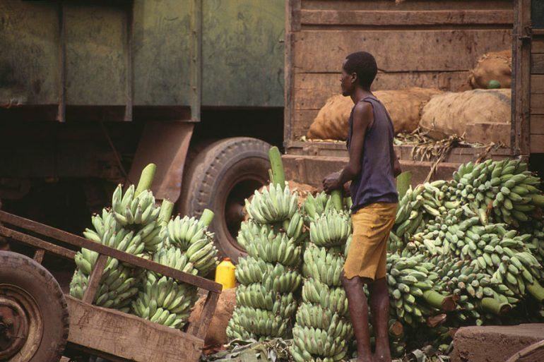 banano y plátano