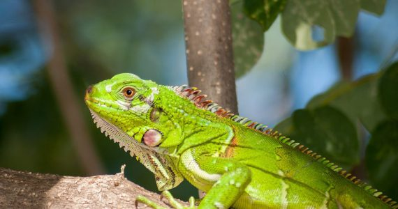 iguanas sobrepoblación