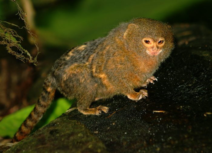 animales endémicos del Amazonas