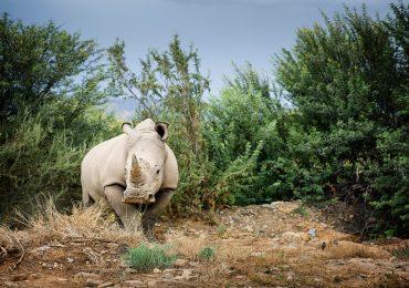 óvulos de rinoceronte blanco