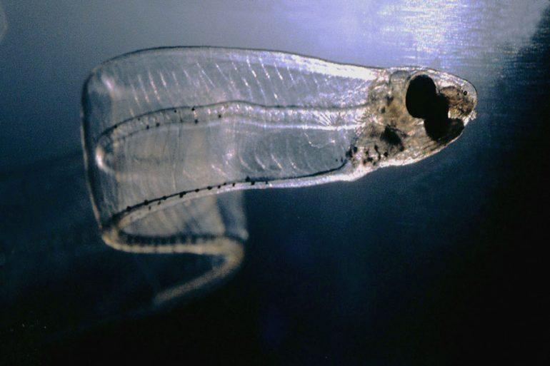 leptocéfalo