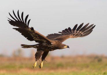 águilas datos