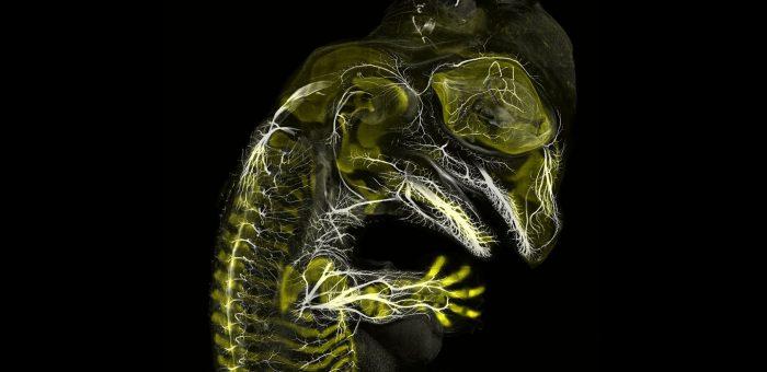 Embrión de tortuga