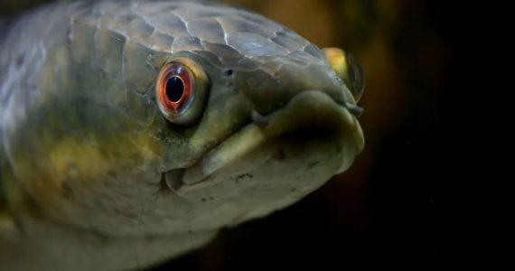 pez cabeza de serpiente