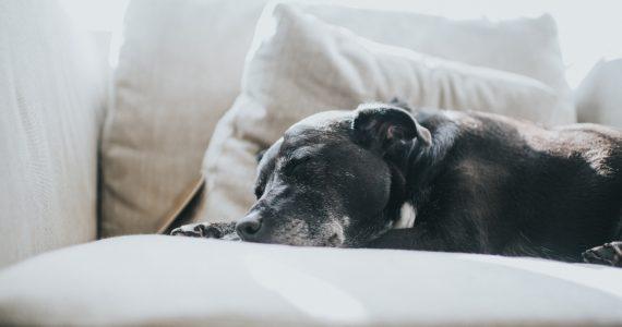 perros influenza