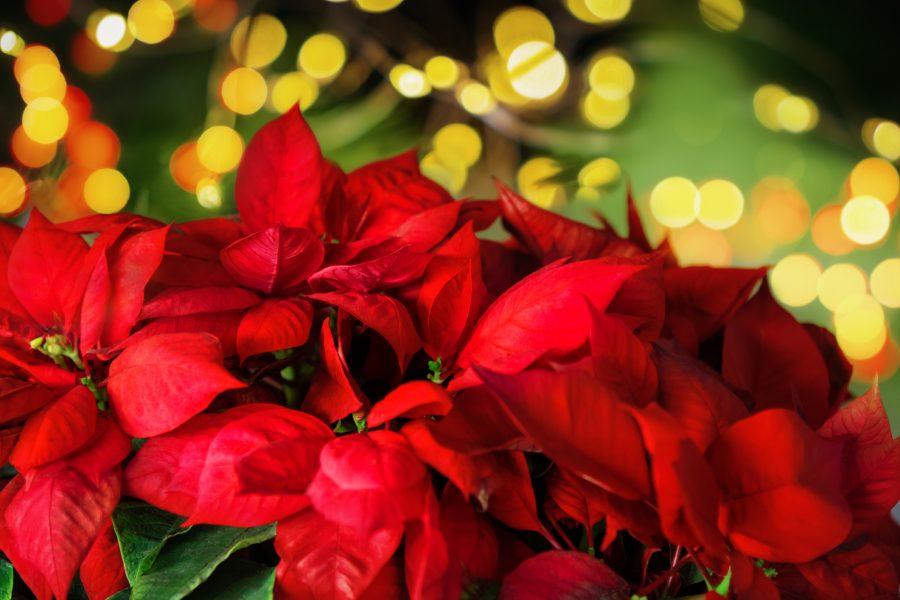 Flor de nochebuena: 10 curiosidades de la flor azteca | Muy Interesante