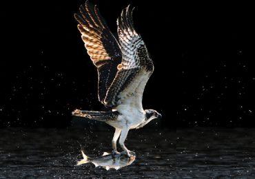 águila cazadora