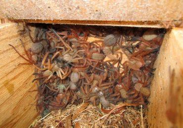 arañas cazadoras