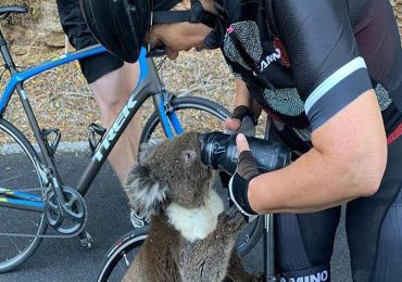koala sediento