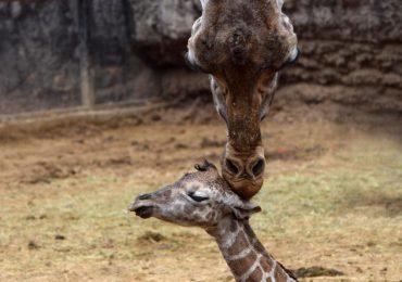 nueva jirafa