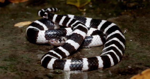 coronavirus serpientes