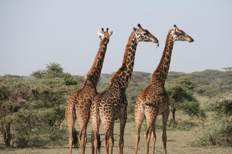 cuello de las jirafas
