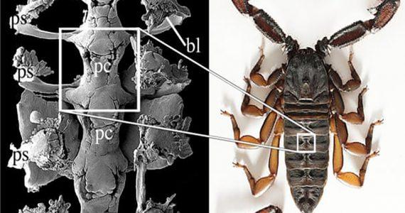 fósil de escorpión