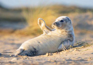 foca bebé