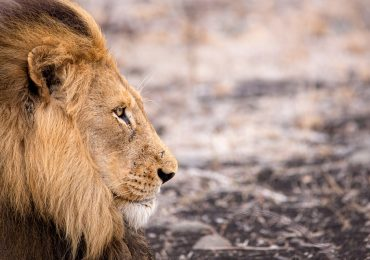 cinco leones