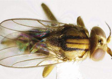 mosca parásita