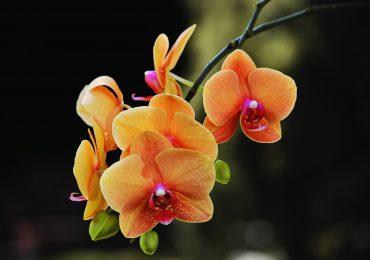 32 especies de orquídeas