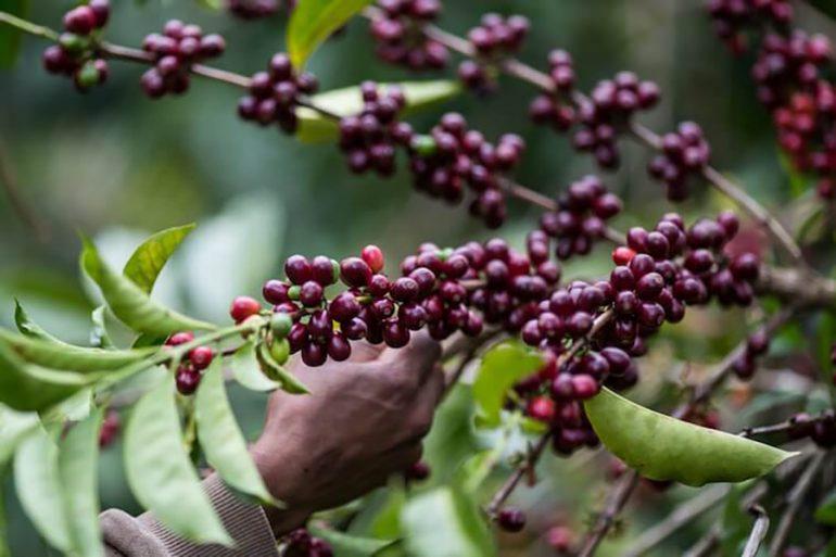 café más caro del mundo