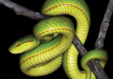 especie serpiente salazar slytherin