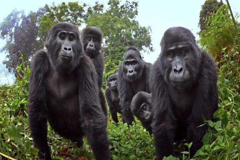 Gorila robot 'espía'