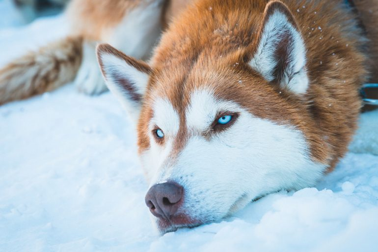 ojos azules huskies siberiano