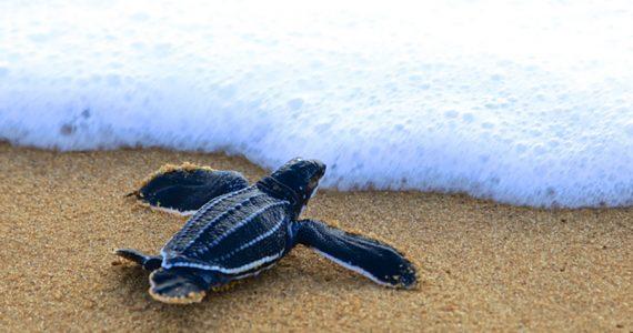 Tortugas baula covid-19