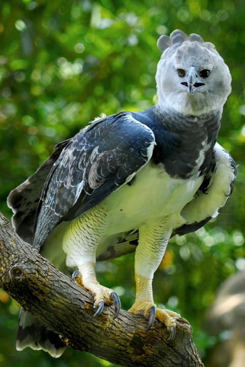 Águila arpía