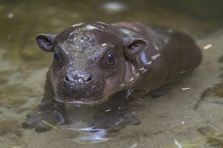 Hipopótamo pigmeo San Diego