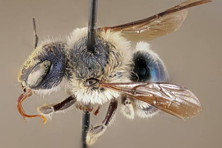 abeja azul florida