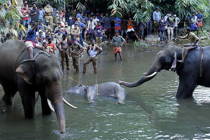 Elefanta embarazada