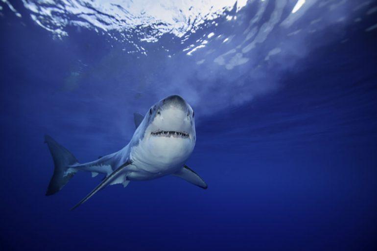 dieta del tiburón blanco