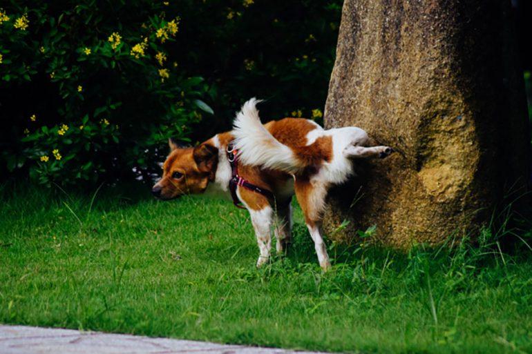 perros orinar alto