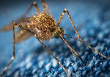 coronavirus en mosquitos