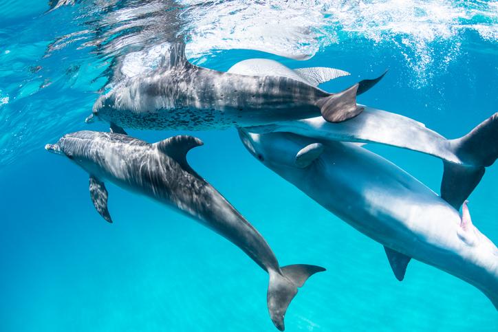 delfines animales sexo por placer