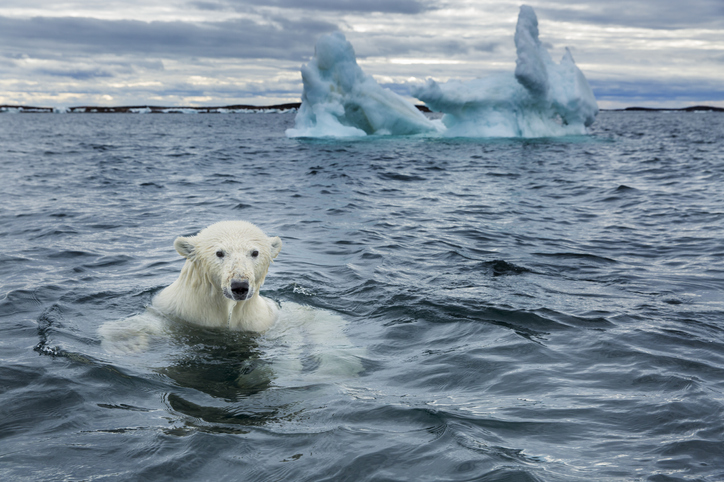 oso polar en peligro de extinción
