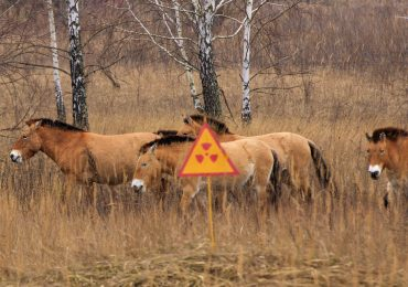 animales en Chérnobil