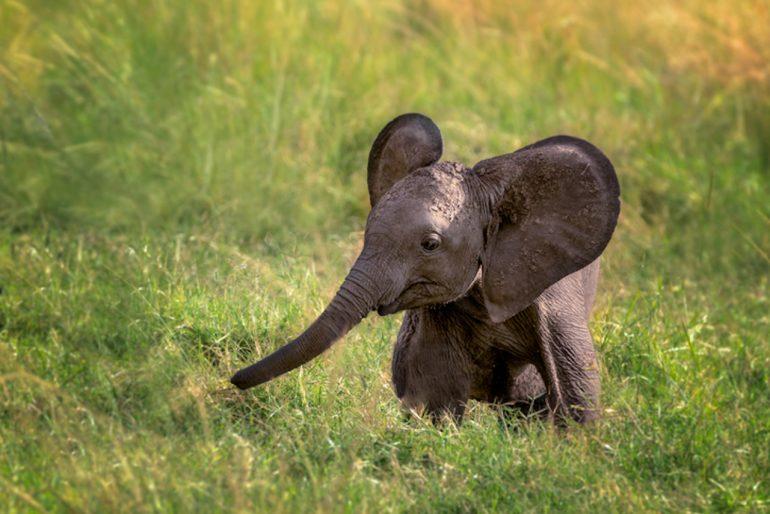 elefante africano México