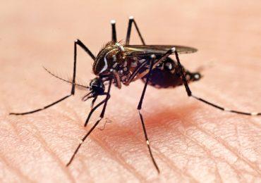 Aedes aegypti mosquitos modificados genéticamente