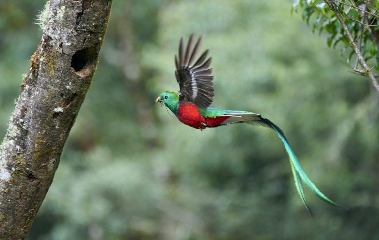 Quetzal, el ave preciosa de México y Centroamérica